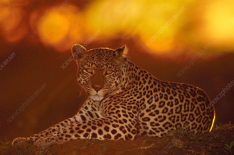 Leopard female resting, Panthera pardus