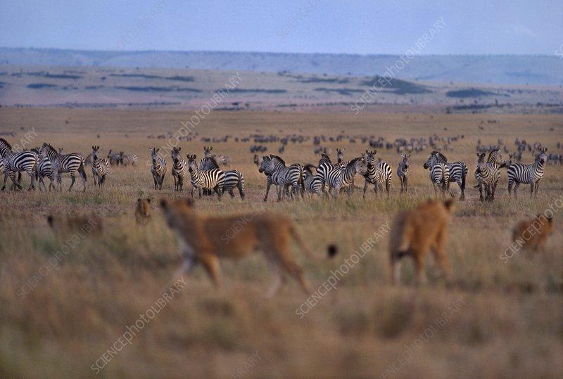 Lionesses, Panthera leo, hunting zebra