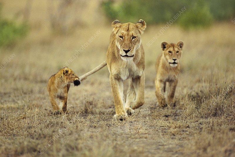 Cub holding onto lioness tail, Panthera