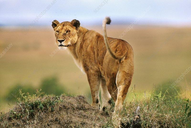 Lioness hunting, Panthera leo