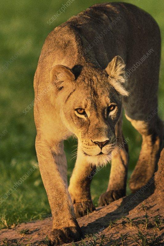 Lioness stalking, Panthera leo, Botswana