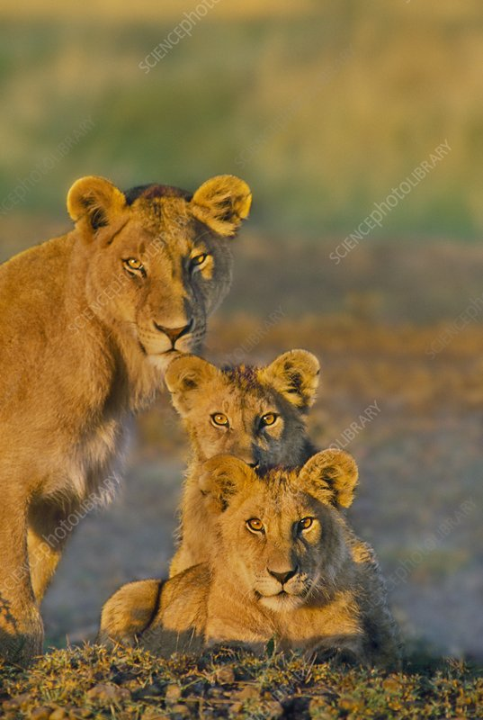 Lioness and cubs, Panthera leo