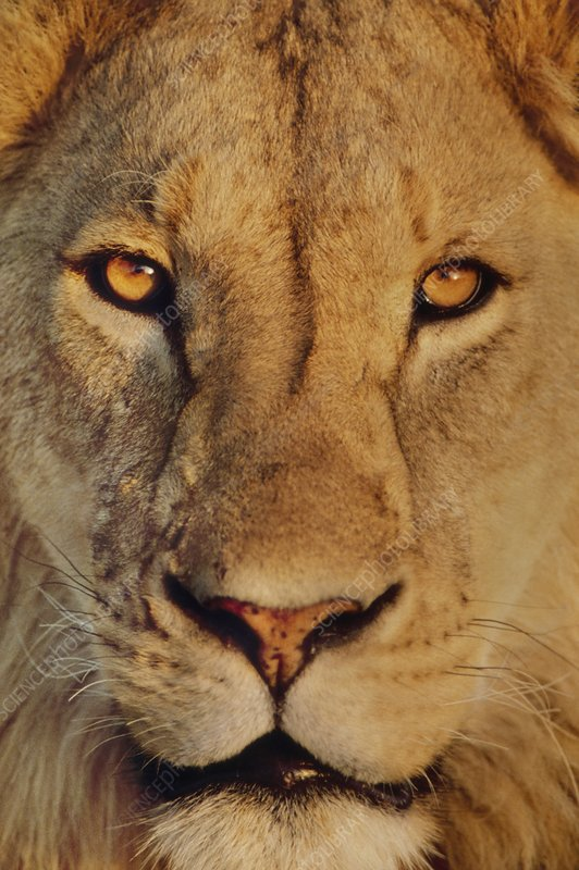 Lion face, Panthera leo, Tanzania