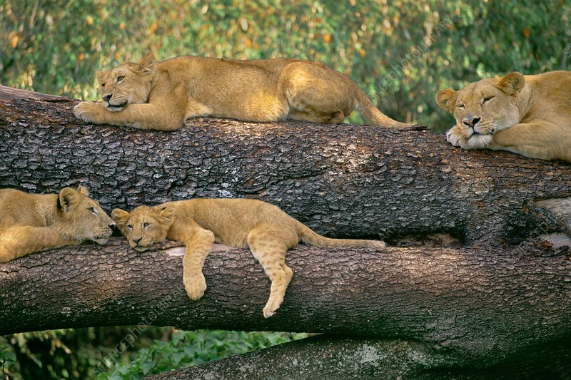 Lions sleeping, Panthera leo, Kenya