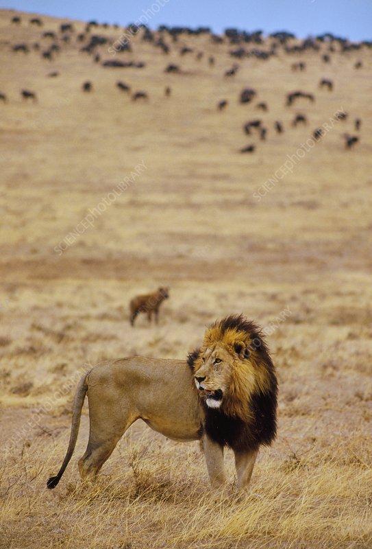 Lion, Panthera leo, Masai Mara, Kenya