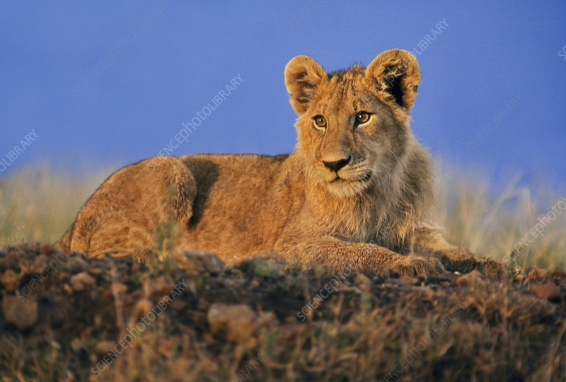 Lion cub, Panthera leo, Tanzania