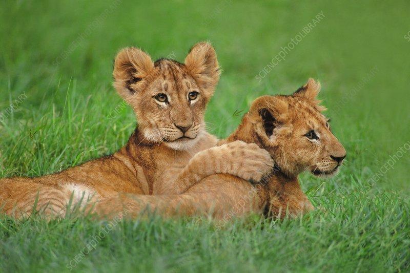 Lion cubs playing, Panthera leo