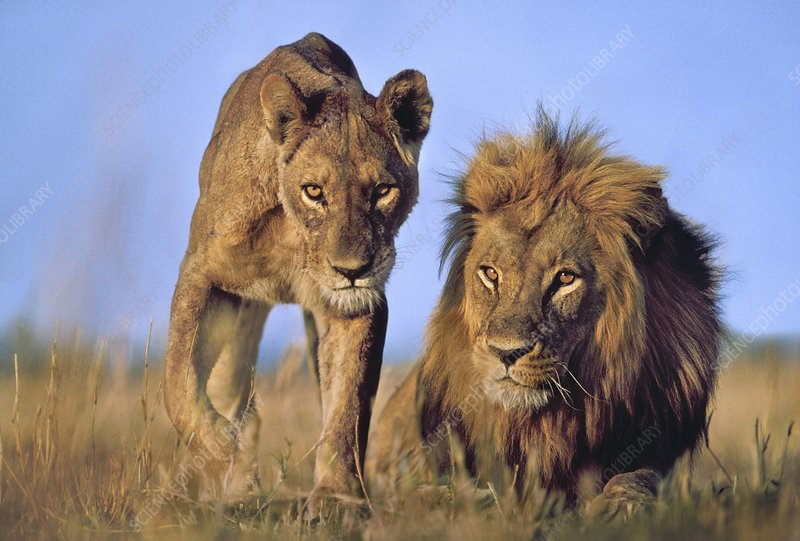Male and female lions, Panthera leo