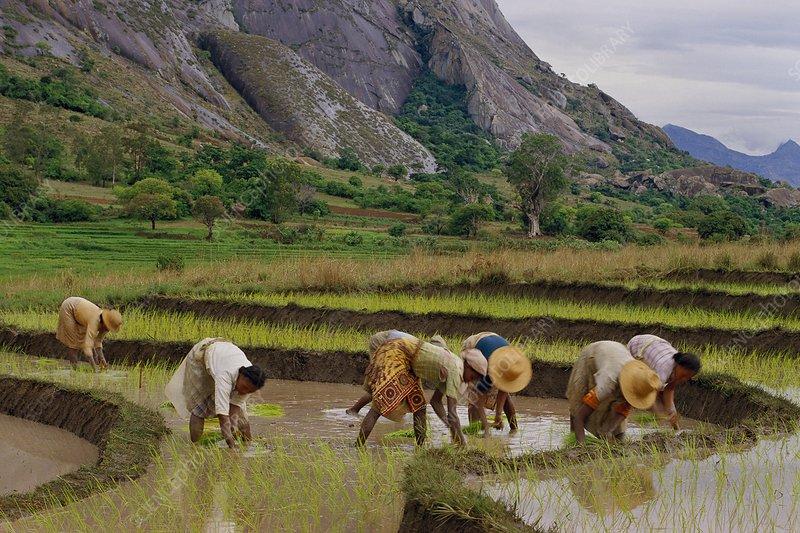 Betsileo women planting rice, Madagascar.