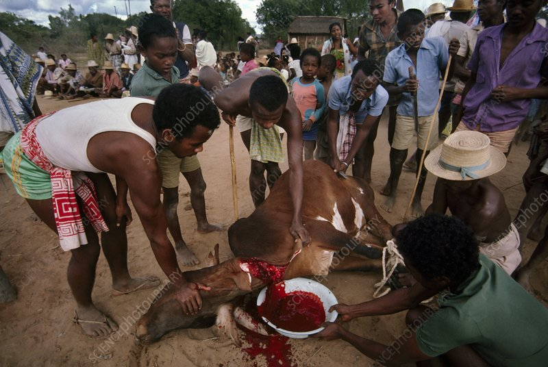 Sacrifice of bull, Hazumanga ceremony
