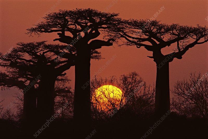 Baobabs in winter, Adansonia grandidieri
