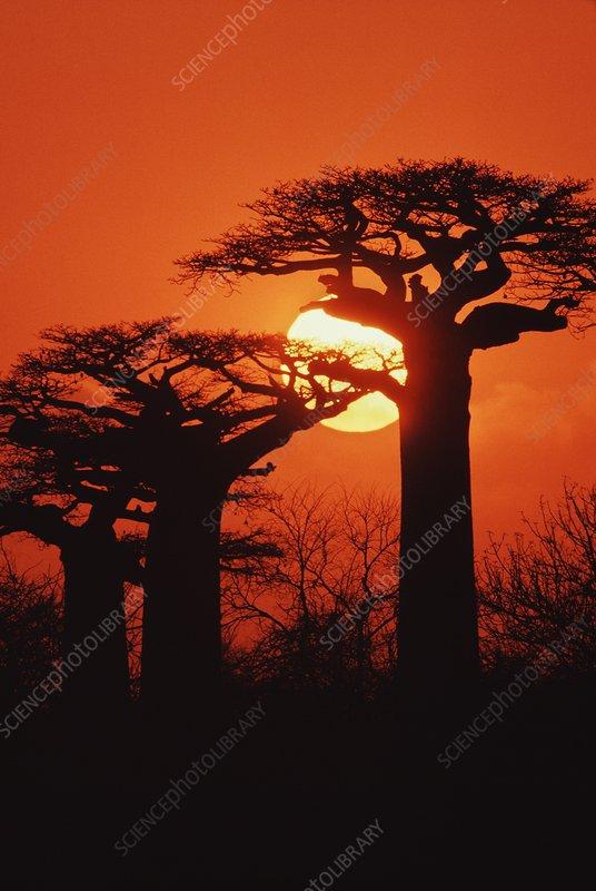 Baobabs at sunset, Adansonia grandidieri