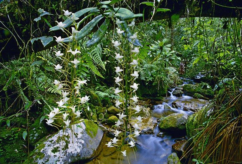 Orchids in rainforest, Angraecum sp.