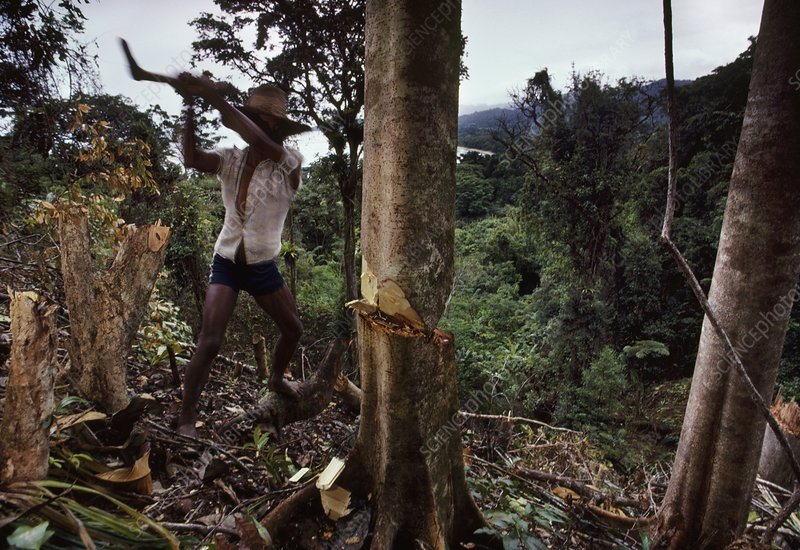 Logger felling tree in rainforest