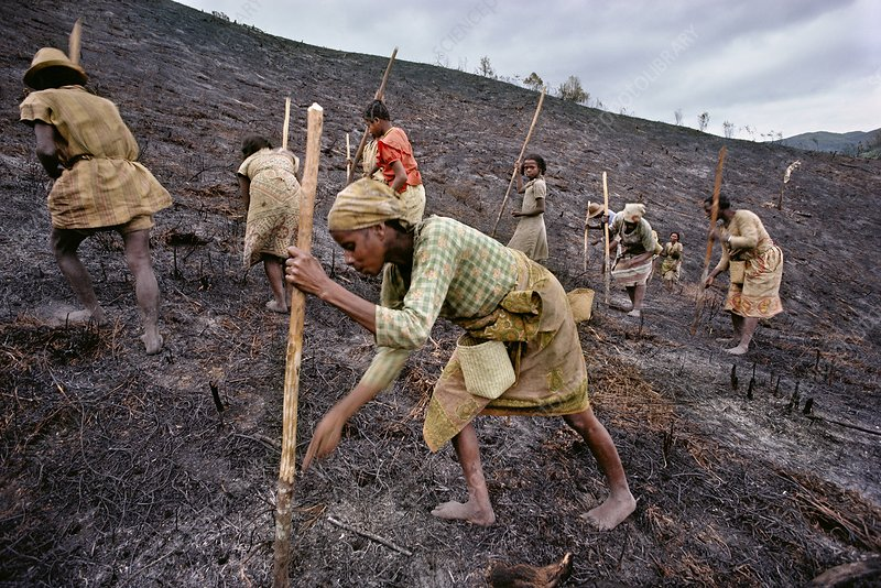 Farmers planting rice, scorched hillside