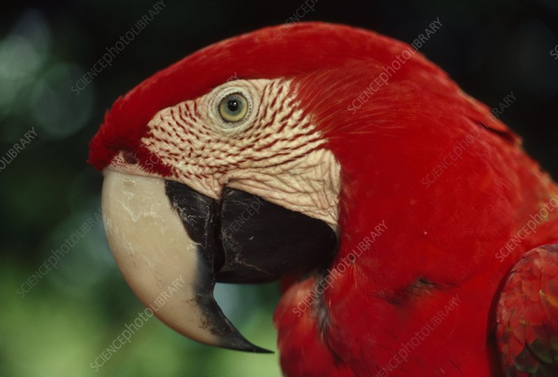 Red-and-green macaw, Ara chloroptera