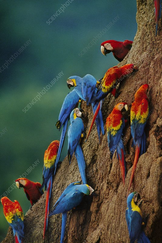 Scarlet and blue-and-yellow macaws, Peru