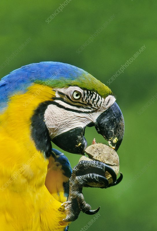 Blue-and-yellow macaw feeding on fruit