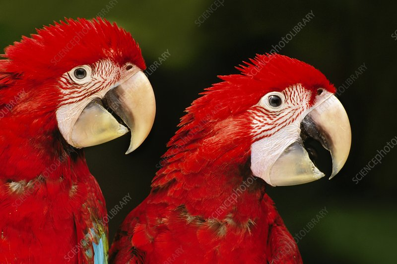 Red-and-green macaw juveniles, Peru