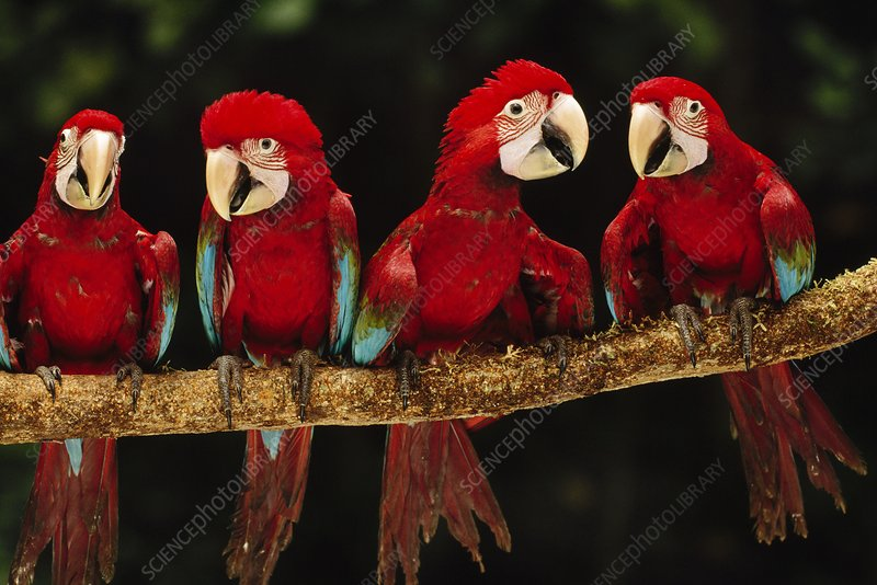 Red-and-green macaws on branch