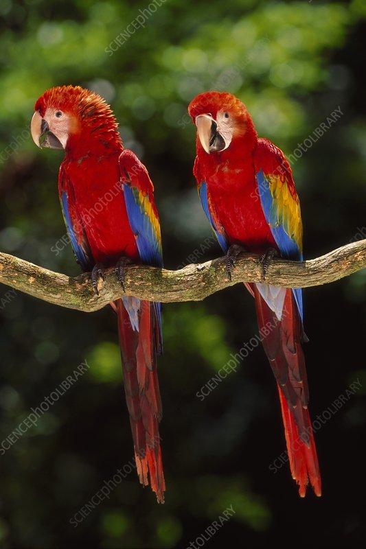 Scarlet macaws on branch, Ara macao, Peru