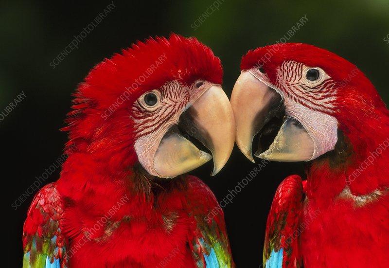 Red-and-green macaws, Ara chloroptera