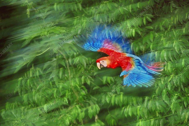 Scarlet macaw juvenile in flight