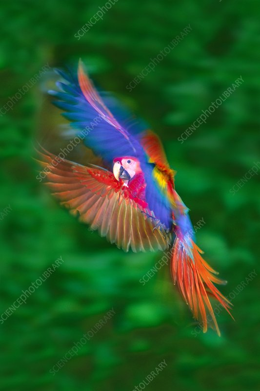 Scarlet macaw juvenile hovering, Peru