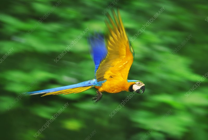 Blue-and-yellow macaw in flight, Peru