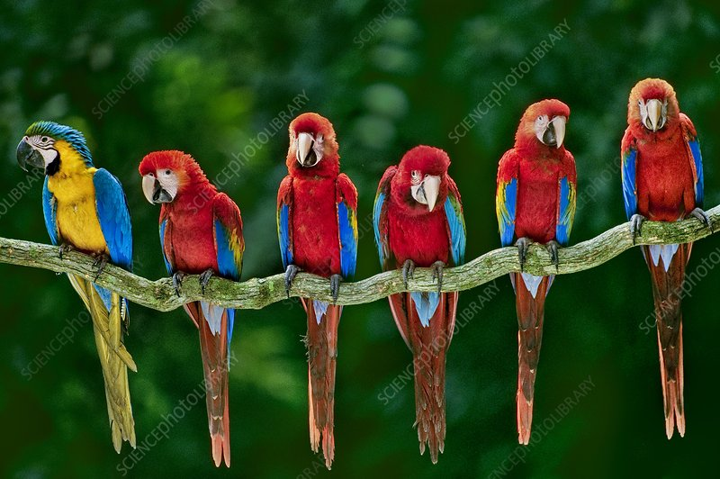 Blue-and-yellow and scarlet macaws, Peru