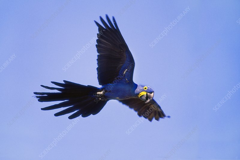 Hyacinth macaw in flight, Brazil