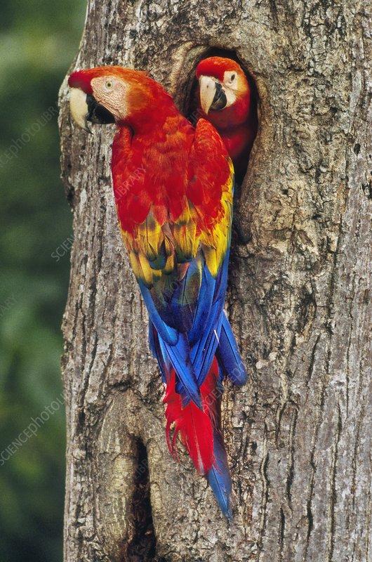 Scarlet macaw with chick, Peru