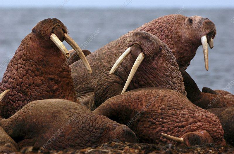 Walruses on beach, Odobenus rosmarus
