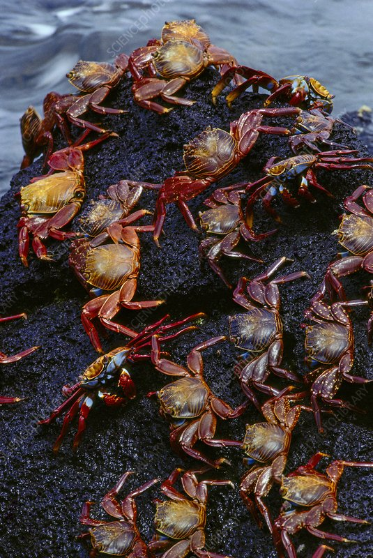 Sally lightfoot crabs, Grapsus grapsus
