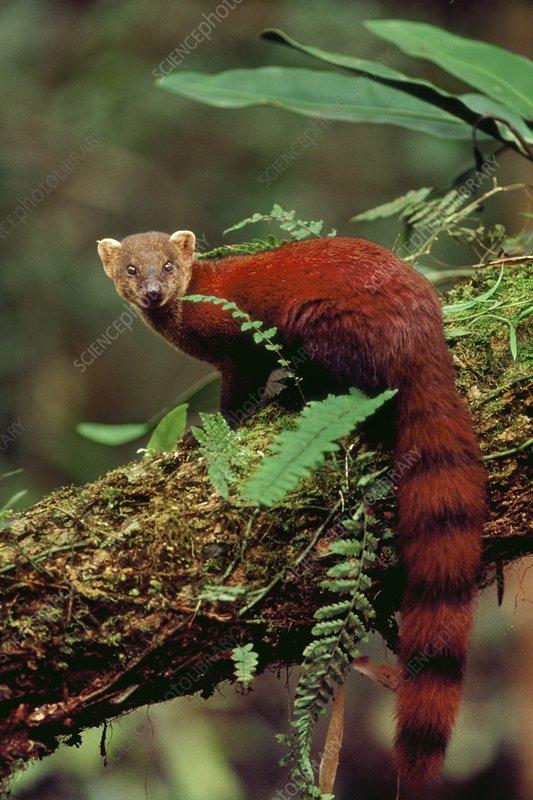 Ring-tailed mongoose, Galidia elegans