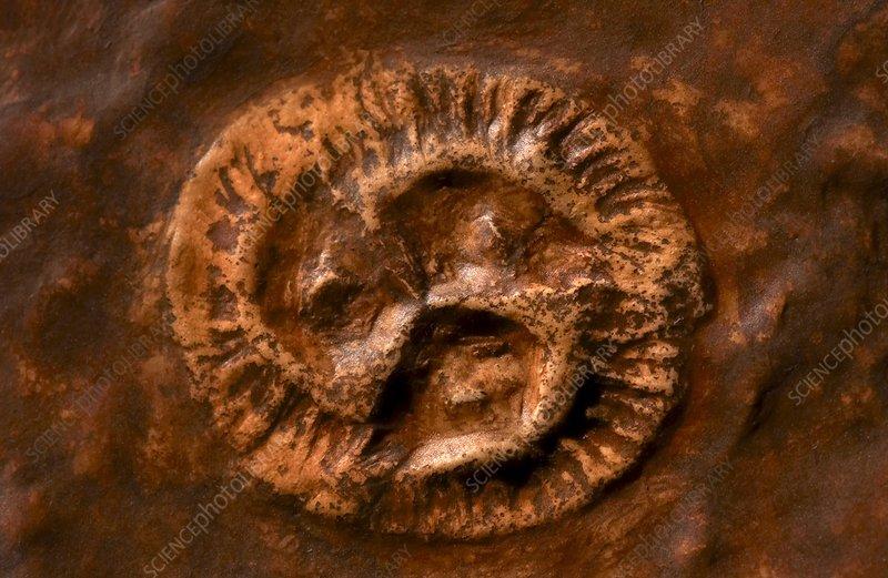 Ediacarian fossil specimen