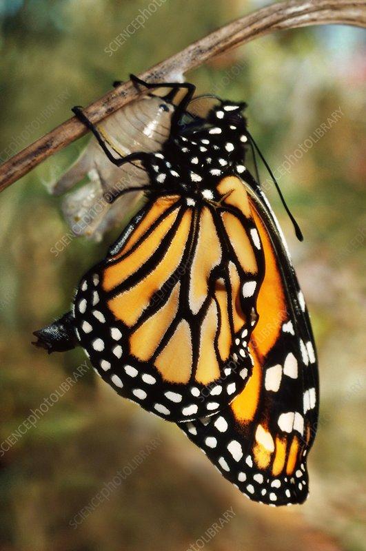 Monarch butterfly in chrysalis