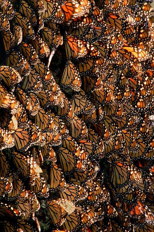 Monarch butterfly wintering colony