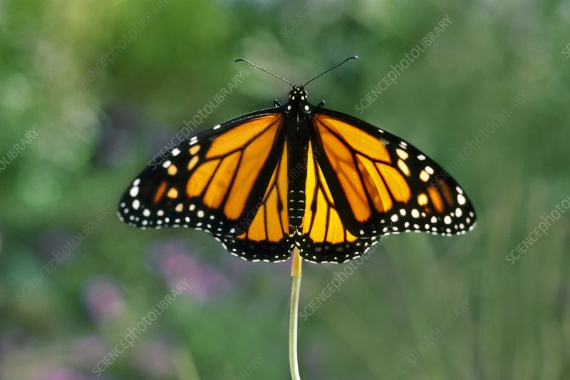 Monarch butterfly sunning