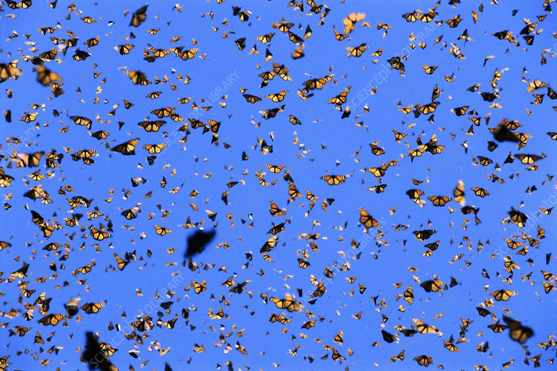 Monarch butterflies in flight, Mexico