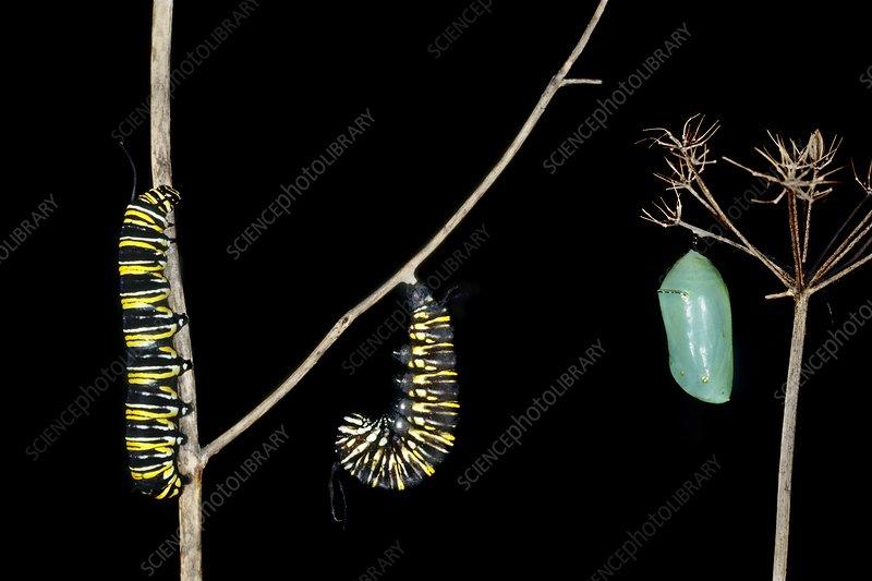 Monarch butterfly caterpillar chrysalis