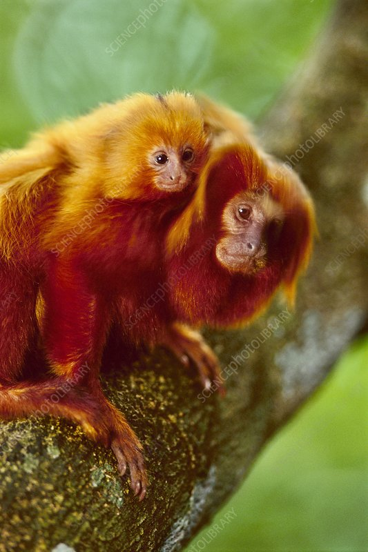 Golden lion tamarin with young