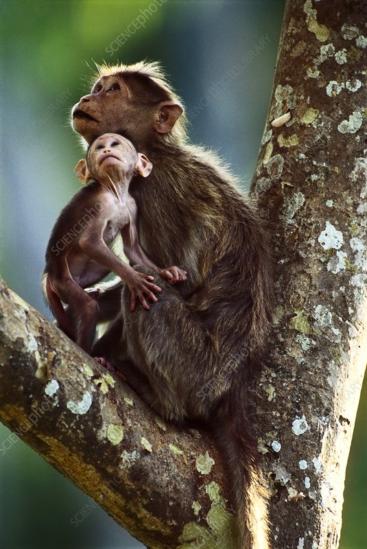 Bonnet macaques, Macaca radiata, India