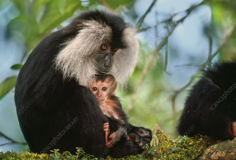 Lion-tailed macaque mother and infant