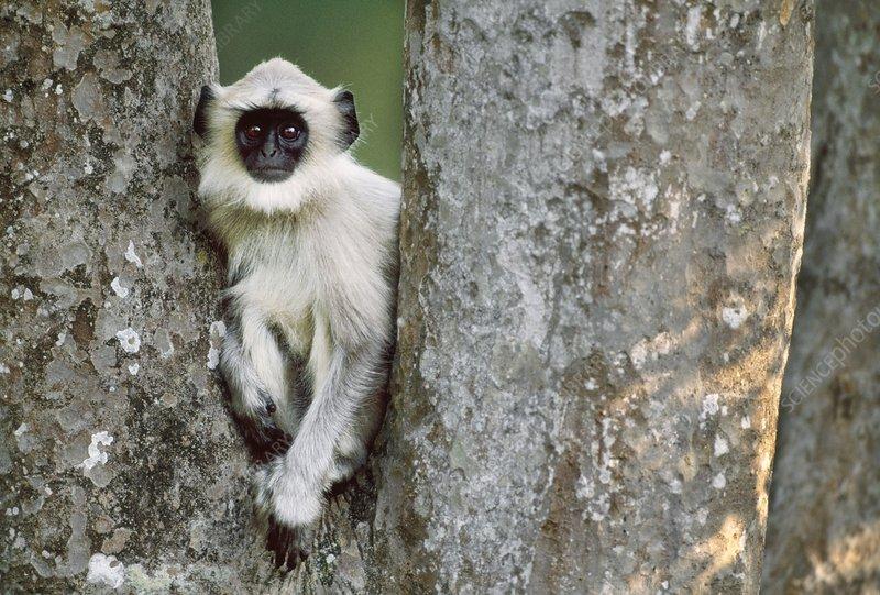Hanuman langur, India