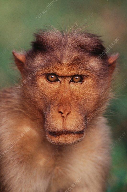 Bonnet macaque, Macaca radiata, India