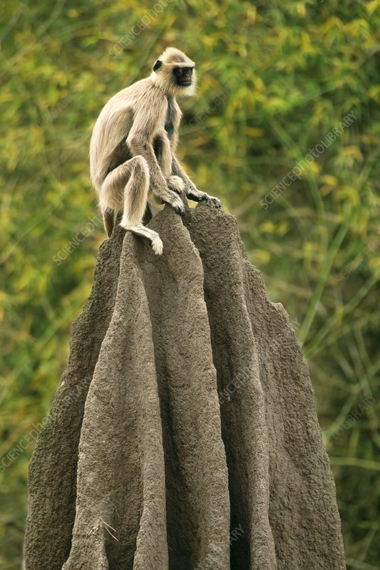 Hanuman langur on termite mound
