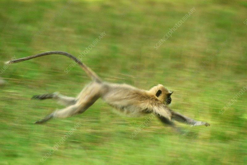 Hanuman langur running, India