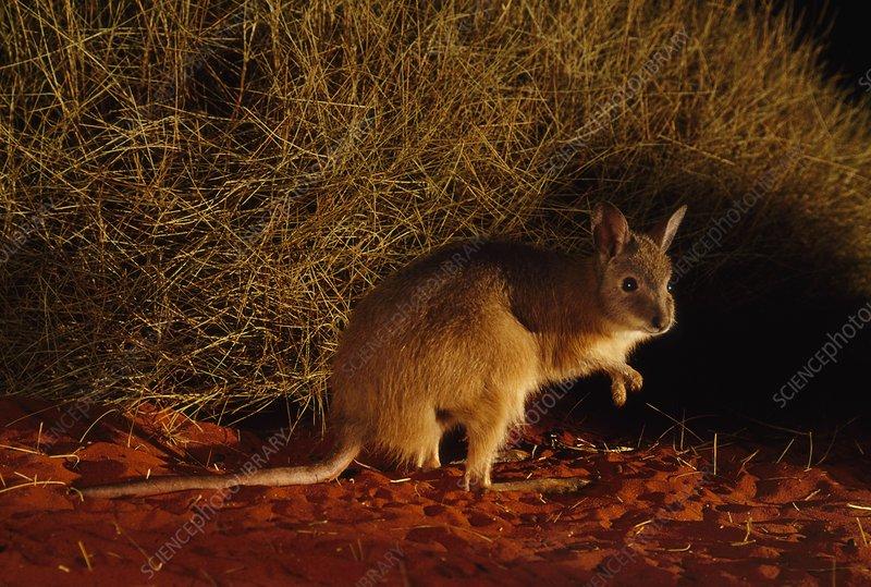 Rufous hare-wallaby, Australia