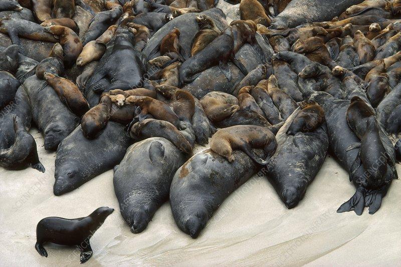 Northern elephant seals, sea lions